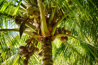Coconuts at Allerton Garden, Kauai, Hawaii | by peterbryan718