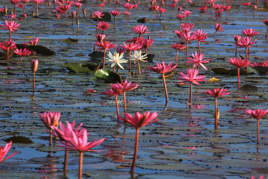 Fly to Udon Thani to experience the Red Lotus Sea
