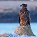 Haförn - Whitetailed Eagle by Helga Guðmundsdóttir