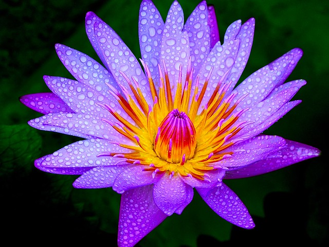 Water Lily after rain