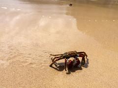 Fernando de Noronha Island crab - Krabbe