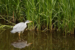 wetland, animal, green, fauna, natural environment, heron, pelecaniformes, shorebird, beak, bird, wildlife, egret,