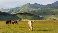 Sibillini - cavalli al pascolo sul Pian Grande