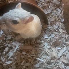 animal, rat, rodent, pet, mouse, fauna, muroidea, whiskers, gerbil,