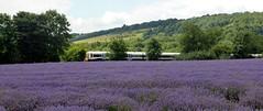 Lavender Networker