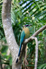 Blue Crowned Motmot - Costa Rica