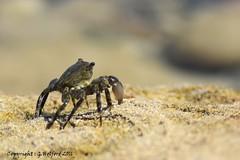 Crab Alert!