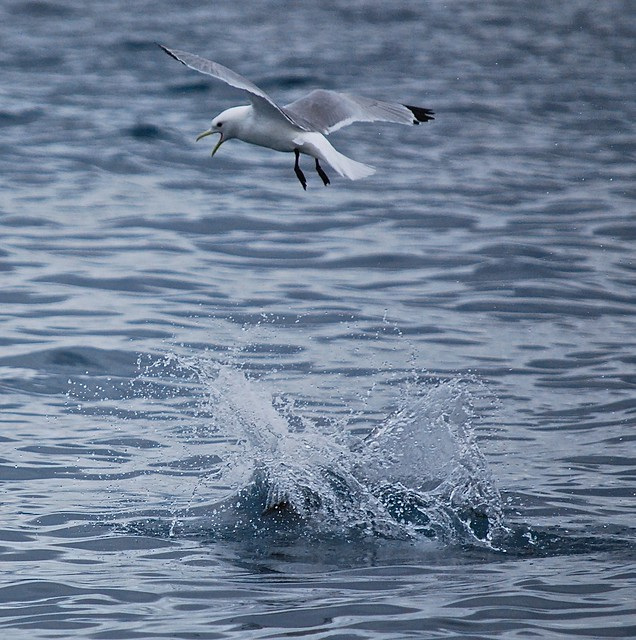 Black-legged Kittiwake harassing Pelagic Cormorant