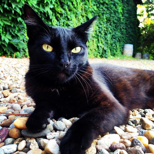 Myrtille, le chat noir. #cat #blackcat #Bordeaux #summer