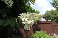 Tree Hydrangea in back yard