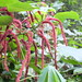 Small photo of Chenille plant, Acalypha hispida