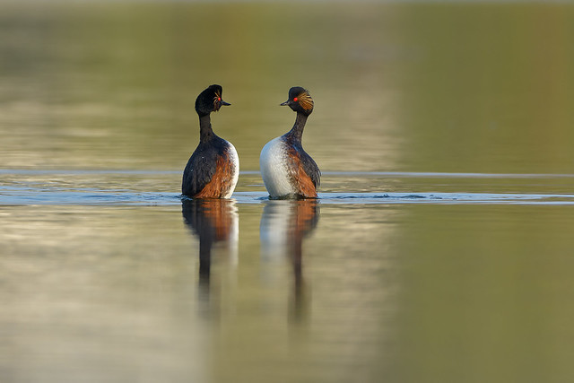 Black - necked grebe's
