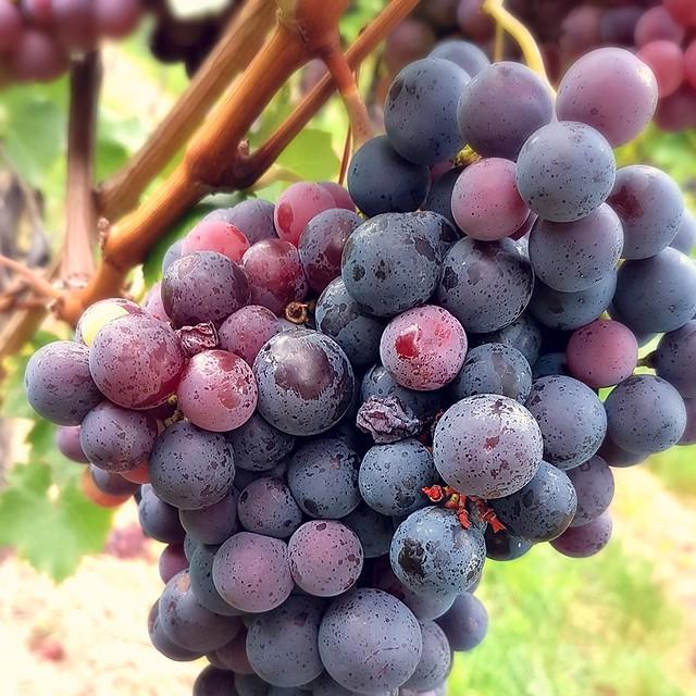 Wein wird aus allem gemacht was man hier sieht ● Wasser oder Wein  ● Rote Trauben - Rotwein