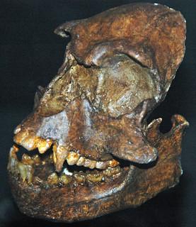 Epipliopithecus vindobonensis (fossil primate) (Middle Miocene; Slovakia) 2