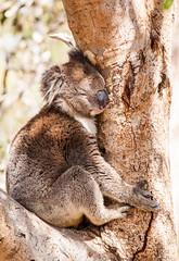 Koala, Mount Lofty, South Australia