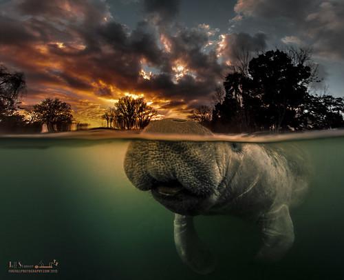 sunrise manatee overunder seacow underwaterphotography threesistersspring overundershot overunderphoto underwatersplitshot kingsbayflorida