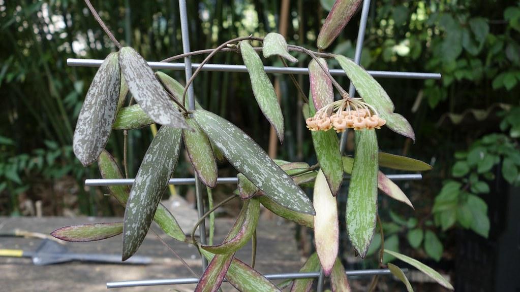 Hoya sigillatis 18616582560_fc564620bb_b
