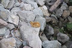 Orange cat among the breakwater rocks DSC_0026