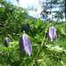 Alpine Clematis (Kerrie Porteous)