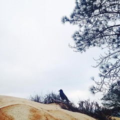 Crow friend #pacificocean #lajolla #sandiego #torreypines #crow