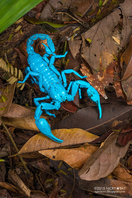 Giant black forest scorpion (Heterometrus sp.) - DSC_5278