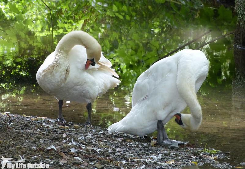 P1140186 - Mute Swans