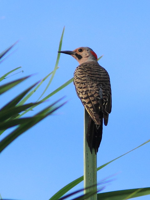 Northern Flicker male 20150729