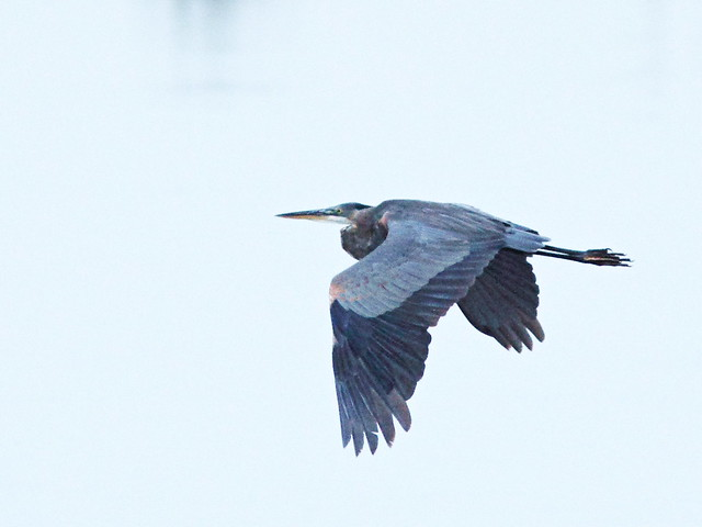 Great Blue Heron 20150802