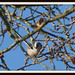 Small photo of Long-tailed Tit ( Aegithalos caudatus )