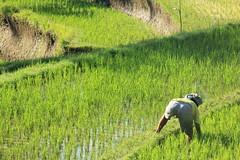 Rice paddies as you approach Gunung Lebah Temple