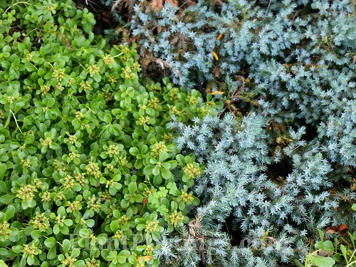 sedum and juniper