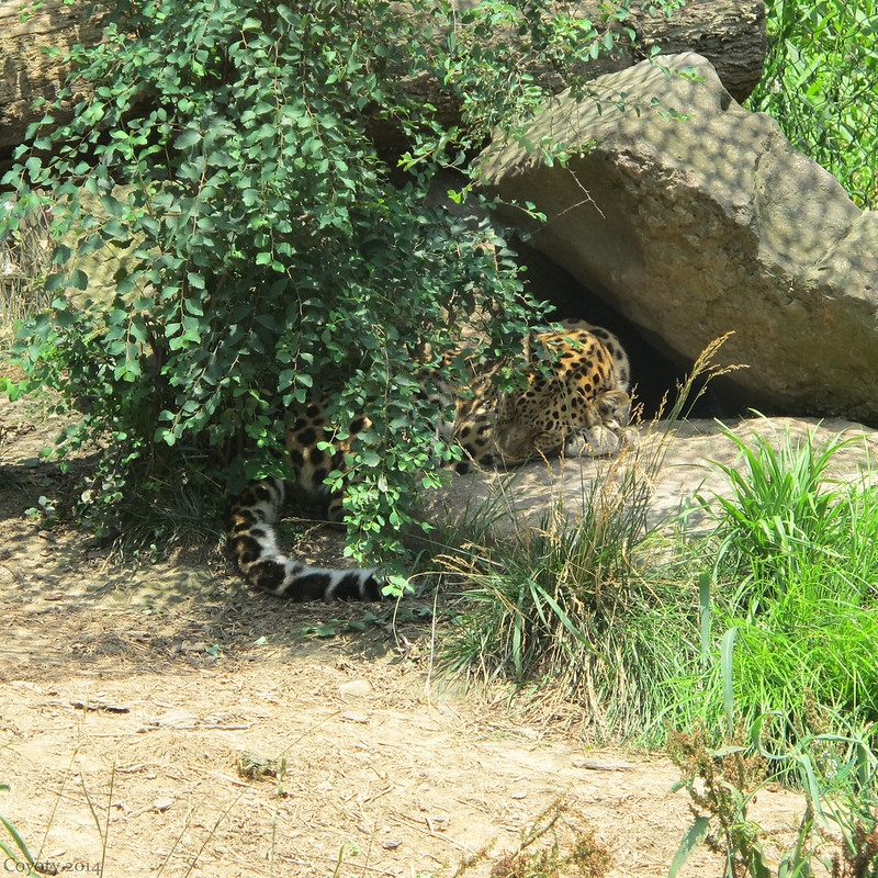 Sleeping Amur leopard