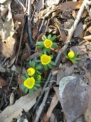 Eranthis hyemalis (winter-aconite), Van Cortlandt Park, Bronx, NY