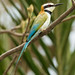 White-Throated Bee-Eater (Dave Montrevil)