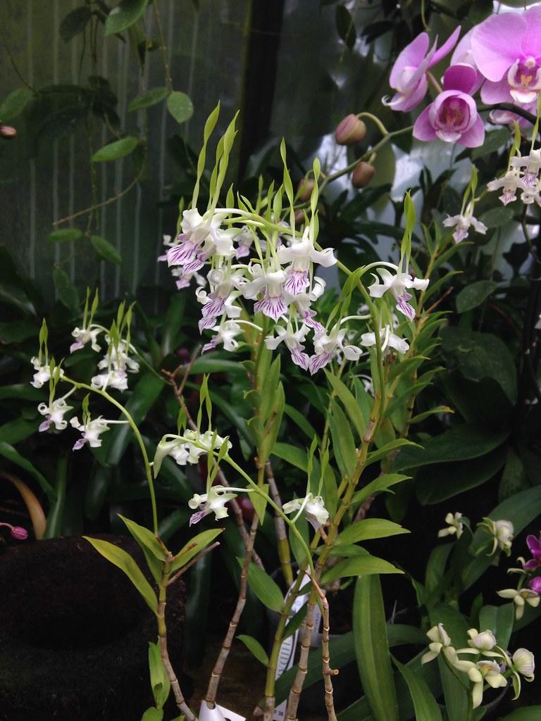 Orchidarium de Prangins 19301459602_b64167a7ab_b