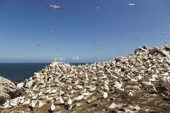 gannet coloney
