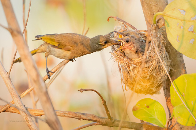 Brown Honeyeater nest and babies