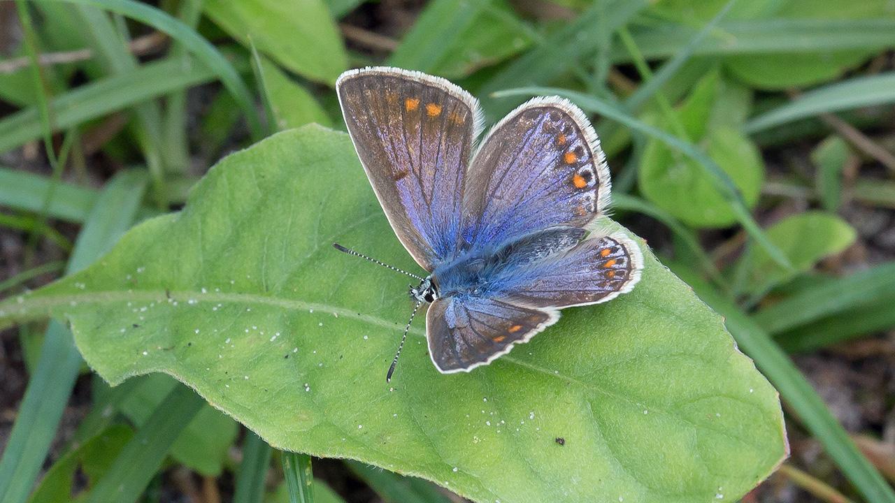 Icarusblauwtje ♀
