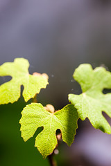 Three grape leaves