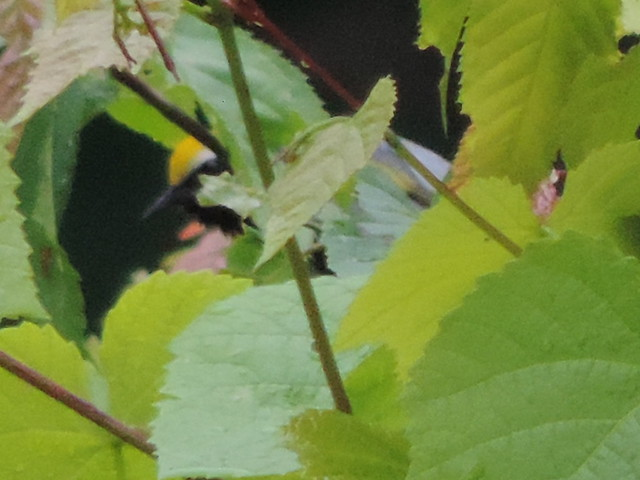 Golden-winged Warbler!