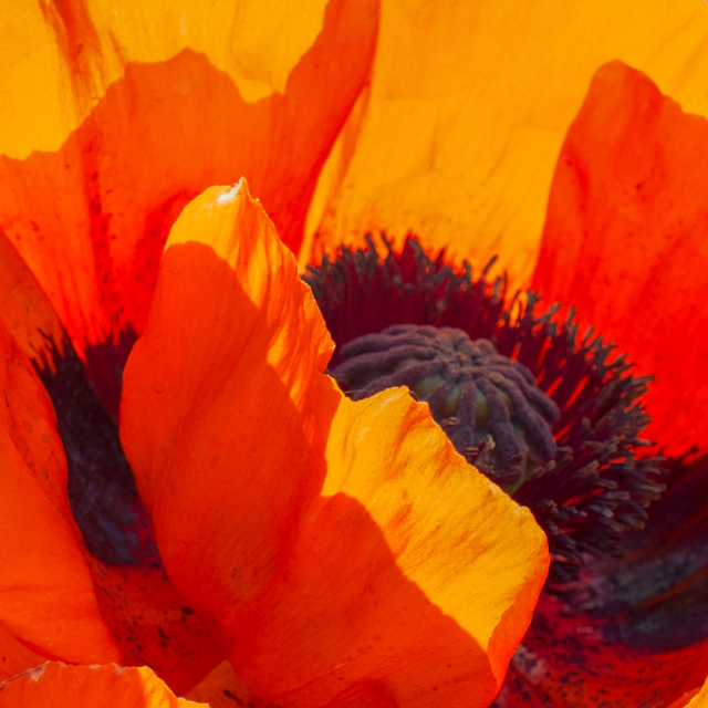 red/orange poppy