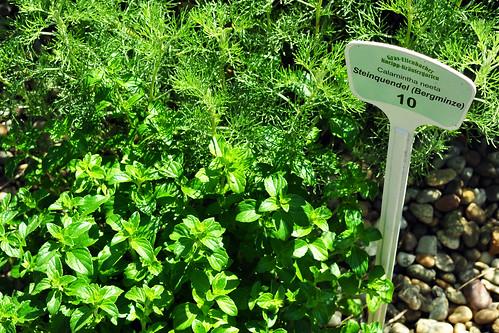 Gras-Ellenbach Odenwald Kneipp Kräutergarten Kräuter Heilkräuter Steinquendel Bergminze Juni 2015 Foto Brigitte Stolle