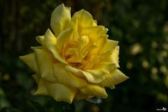 "Rose ""Sunblest"""