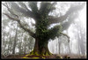 Giant Myrtle Beech by darreng2011