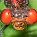 Male Fiery-eyed Dancer - Argia oenea (Coenagrionidae) 115v-16509
