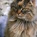 Angora cat by dubus regis