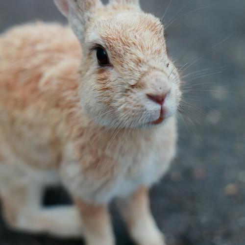 見つめるウサギ