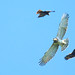 Short-toed Eagle (and Black Kites) (Wim Bovens)