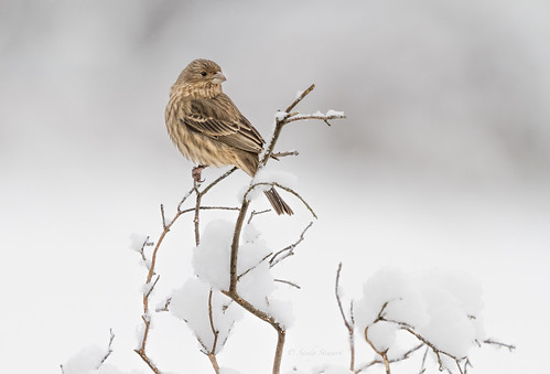 birds finches housefinches snow winter birdsofvancouverisland birdsofbc birdsofthepacificnorthwest feathers cold sandystewartphotography nature wildlife cute