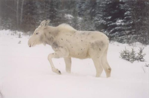 Fwd: FW: WHITE MOOSE Spotted near Drayton Valley Alberta